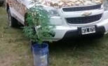 Encuentran unas 500 plantas de Marihuana en Victoria