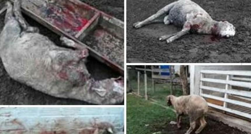 Perros atacaron ovejas de la escuela Agrotécnica de Federal.