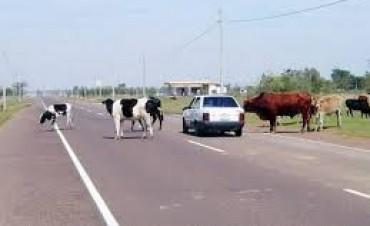 Piden que la Policía controle los animales sueltos en ruta
