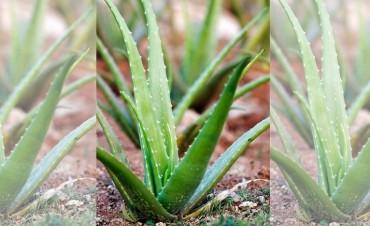 Aloe Vera, la planta de múltiples beneficios