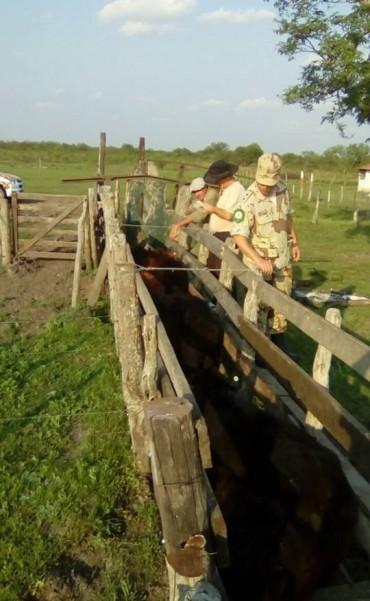Federal : recuperan bovinos sustraídos a productor de la zona