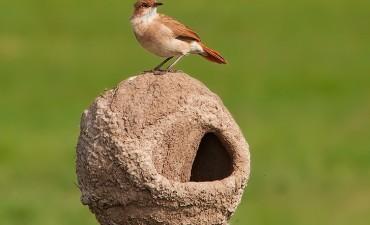La historia poco conocida acerca de por qué el hornero es el ave nacional