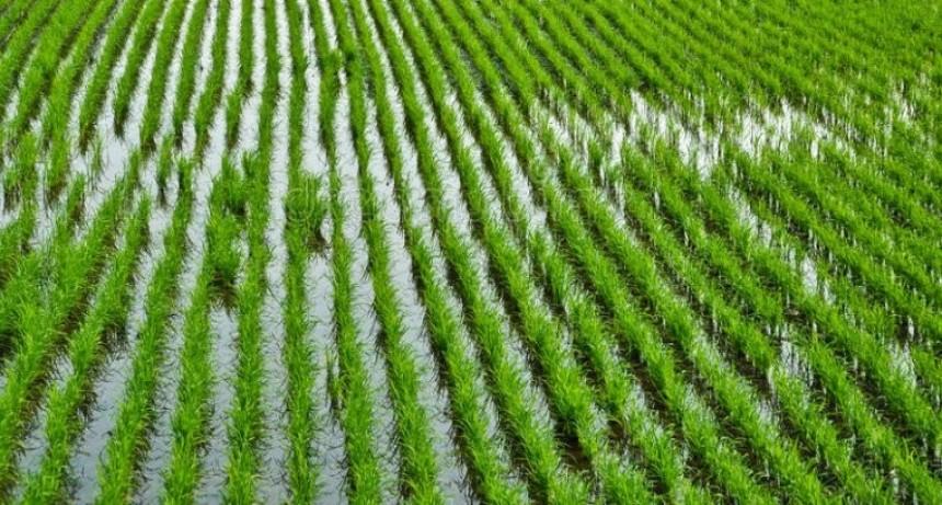El arroz y la soja, los cultivos más afectados por las intensas lluvias
