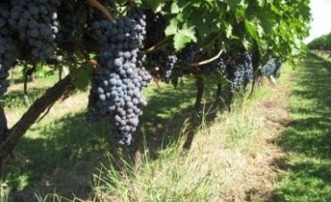 Pancho Dotto cosechó uva de sus viñedos entrerriano