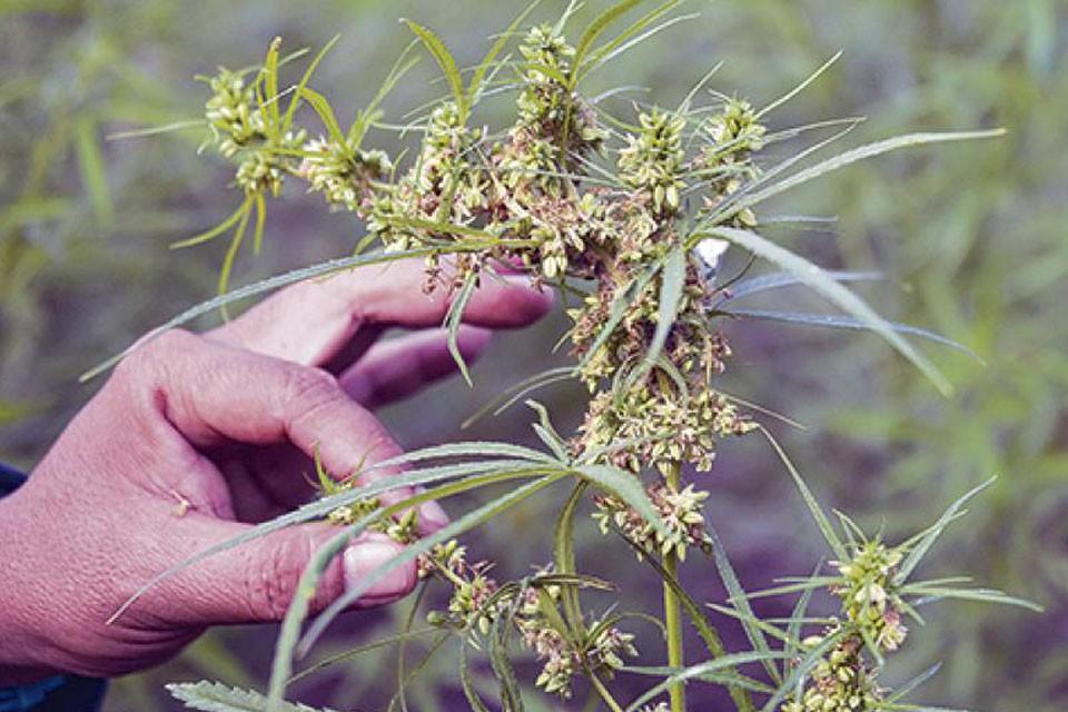Reglamentan el cultivo cannábico