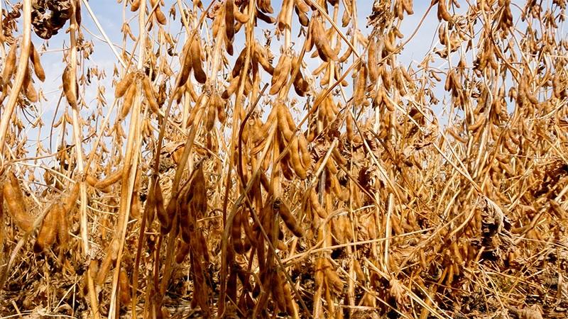La baja en el precio de la soja preocupa a los productores
