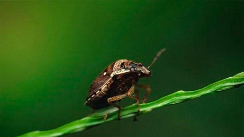 Alertan ingreso de nuevas plagas que podrían afectar la producción agropecuaria