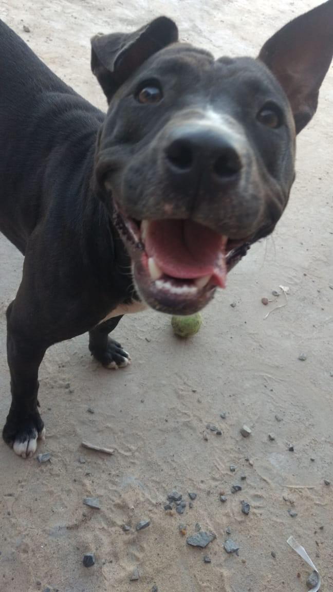 Efectivos de la División Investigaciones recuperaron en la tarde de este jueves a una perra de raza Pitbull, robado días atrás.