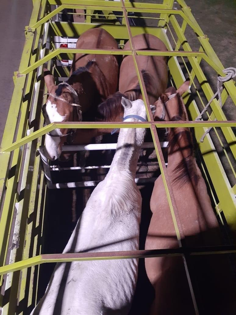 Transportando 4 equinos, sin guía de traslado.
