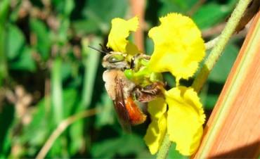 Descubren en Argentina nuevas especies de abejas: Sus características