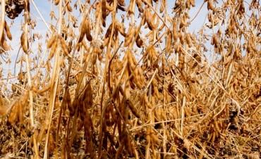 La soja no para de bajar y la cosecha argentina ya se devaluó u$s 2800 millones