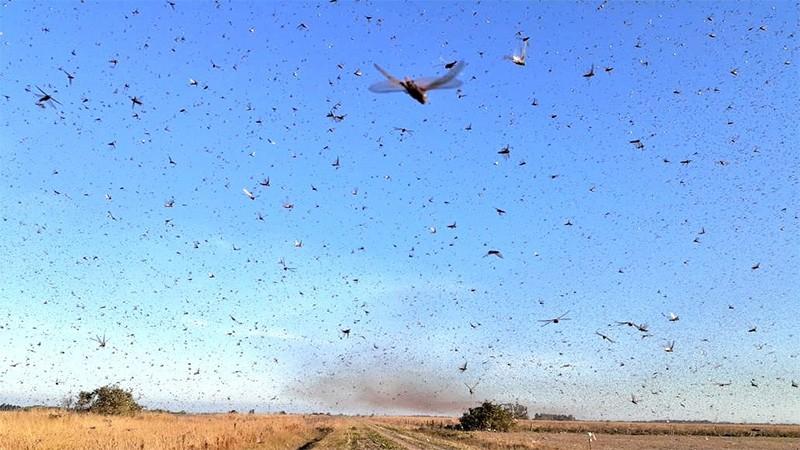 La invasión de langostas y un alerta para la provincia de Entre Ríos