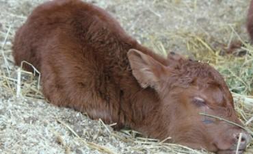 El primer ternero nacido en la rural de Palermo se llama