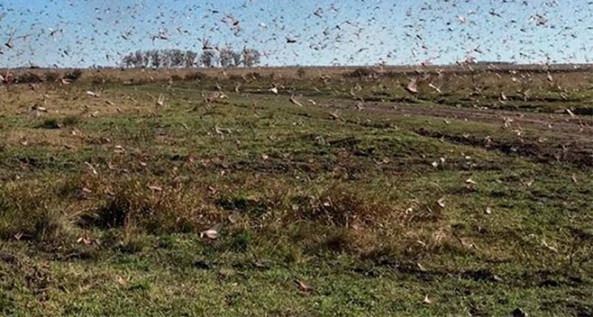 El clima favoreció el desplazamiento de las langostas: están al este de Federal