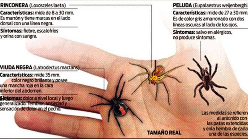 Araña rincón: cómo es y qué hacer ante una picadura