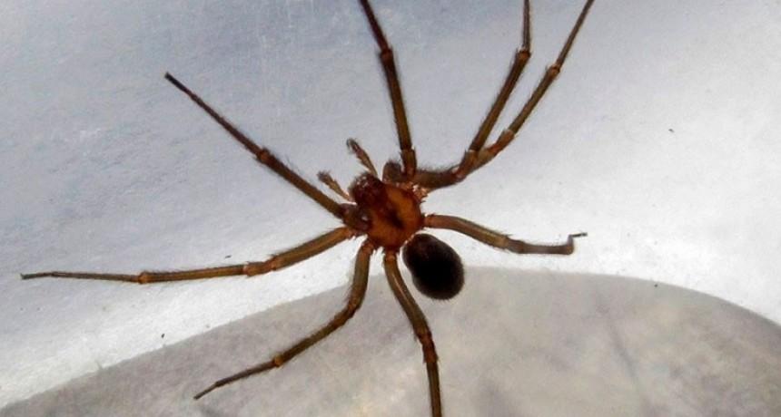 Una araña venenosa mató a un chico de 15 años