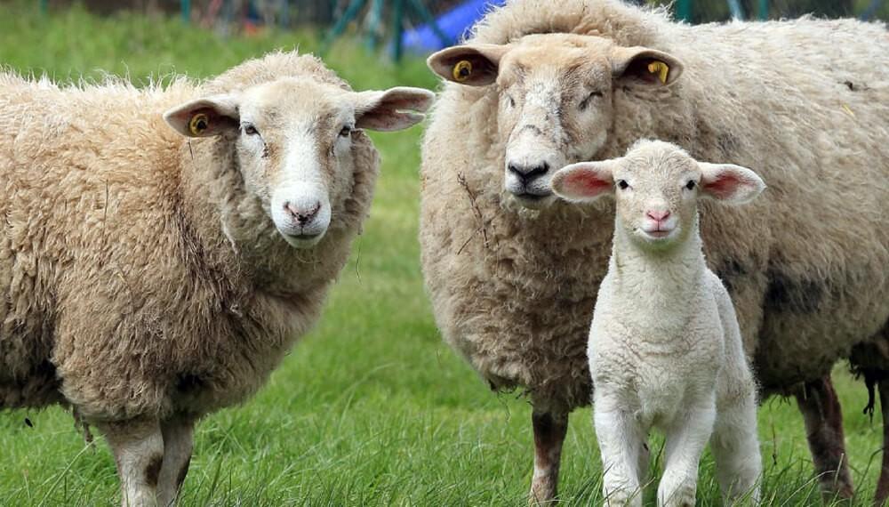 Buscan potenciar la producción ovina en Entre Ríos