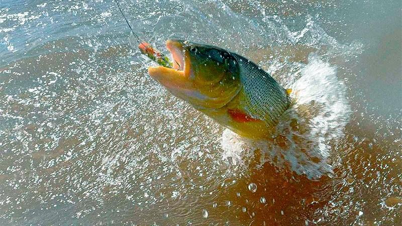 Comienza la veda de cuatro meses para la pesca del Dorado en el río Uruguay
