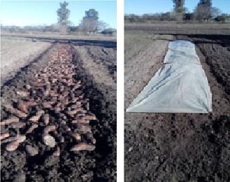 Los productores que cultivan batata en el Departamento Federal, ya han comenzado a hacer sus almácigos