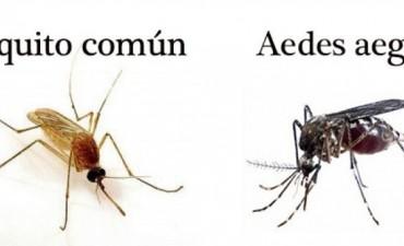 Descartan que mosquito común pueda transmitir el Zika