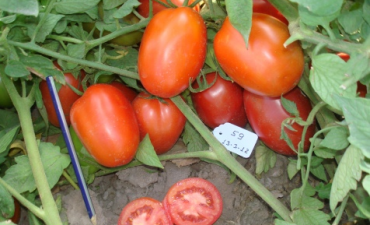 El tomate, ¿es un fruto o una fruta?