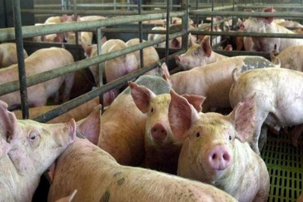 Chaco firmó un acuerdo para instalar tres complejos porcinos para 36.000 madres