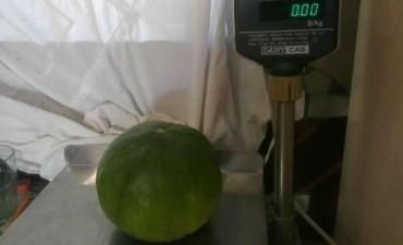 Federal : Cosecharon zapallitos gigantes con peso inusual