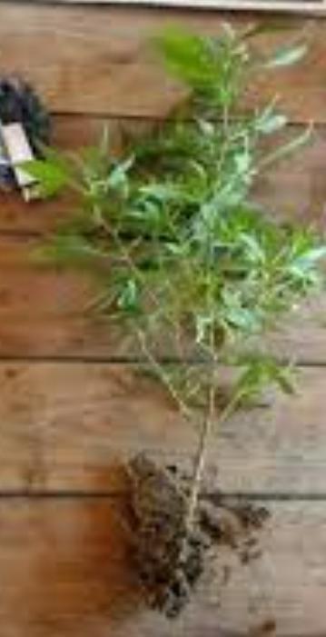 Secuestro de una planta de Marihuana